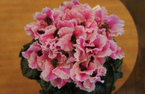 シクラメンの花を頂きました